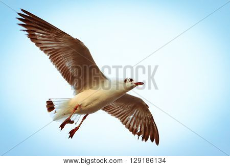 A Seagull Flying. Seagulls Fly In The Blue Sky.