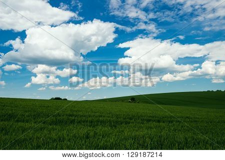 green field of wheat and spring blue sky with white clouds - copy space