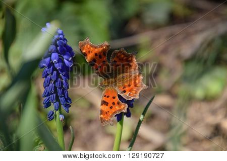 Polygonia C-album On A Flower