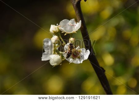 Pollination Of Flowers By Bees Pears.
