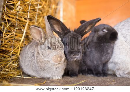 Herd Of Small Gray Bunnies In The Hutch With Hay