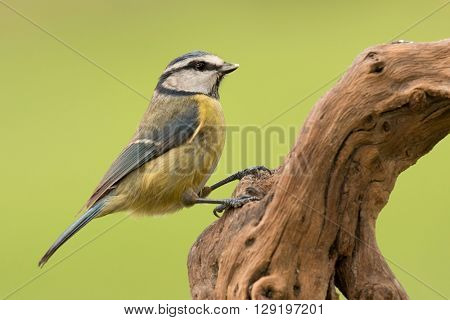Nice tit with blue head perched on a log