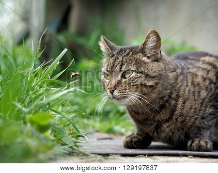 The cat is watching the flight of the bumblebee. Cat large, gray, striped. Conceptually - animals outdoor recreation. Cat hunts for insects. Insect bites and allergies in animals
