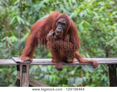 Orangutan sitting and itches on a wooden platform in the background of green leaves