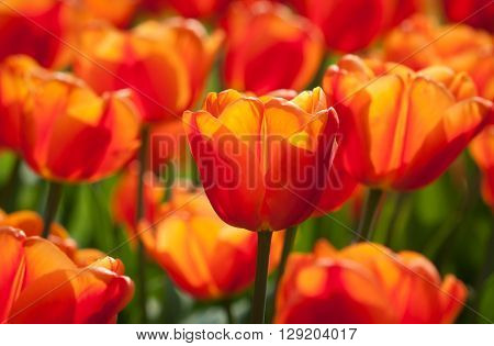 Beautiful orange tulip - soft bokeh background - sunny bright scene