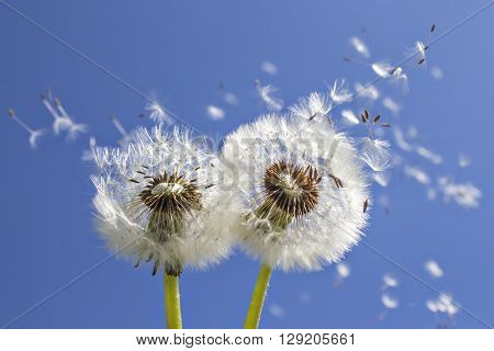 Close up of grown dandelions and dandelion seeds in the sunlight blowing away across the blue sky background