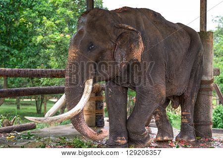 Sri Lanka Pinnawela an old blind elephant in the Elephant Nursery poster