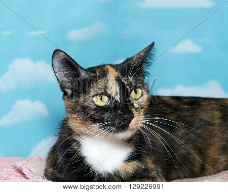 Portrait Of A Calico Tortie Tortoiseshell Mix Cat On Pink Blanket