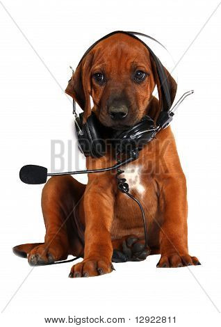 Ridgeback puppy with headphones listening music