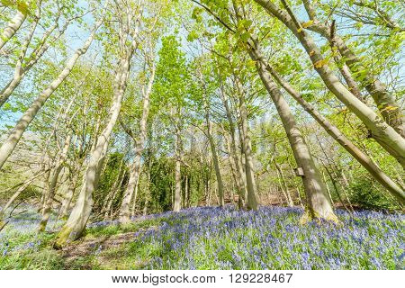 Colourful Spring Woodland at Bright Sunny Day with Bluebell Flowers