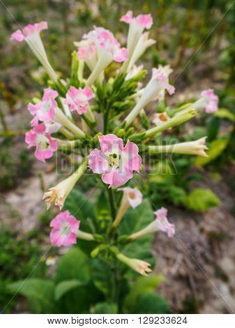 Closeup of Pink Tobacco Flower in Tobacco Plantation at Chiang Rai Thailand (Selective Focus)