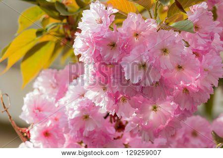 Pink abloom japanese cherry (sakura) blossom at spring