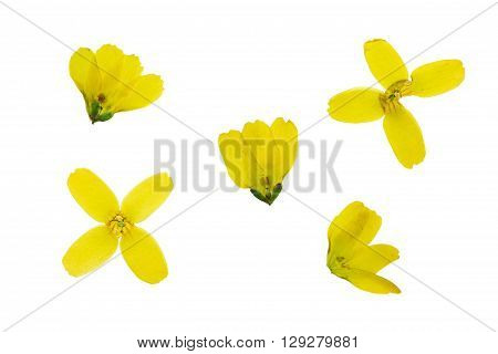 Set of pressed and dried yellow forsythia isolated on white background.