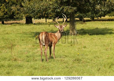 A Young Red Deer Interupted Whilst Eating Grass.