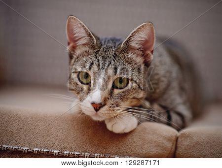 Portrait of a sad thoughtful striped cat on a sofa.
