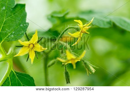 Bright yellow flowers of tomatoes over blurry background
