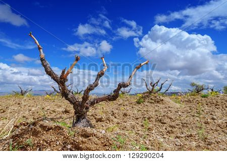 Amazing view on old vineyard in spring time
