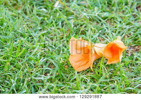 Thevetia peruviana or orange oleander on sward