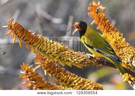 Black-headed oriole sitting on yellow aloe to catch wild bees