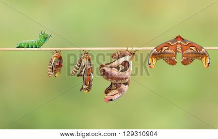Life cycle of attacus atlas moth from caterpillar