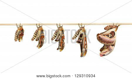 Transformation of attacus atlas moth on white with clipping path