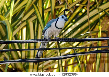 The white-throated magpie-jay (Calocitta formosa) is perching on wires.