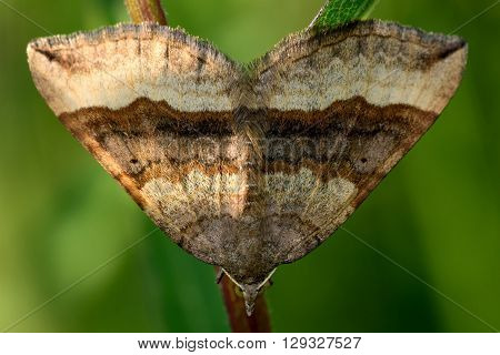 Shaded broad-bar moth (Scotopteryx chenopodiata). British insect in the family Geometridae the geometer moths