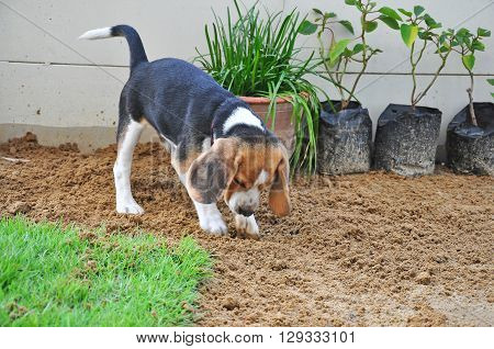 Beagle puppy dig the ground on the lawn.