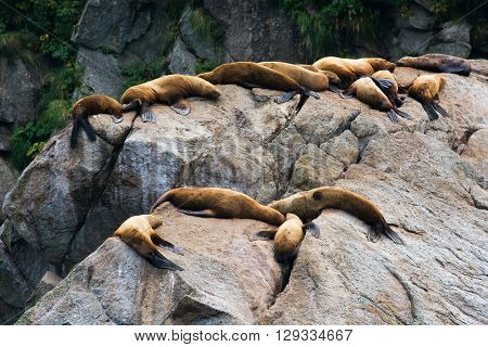 A warm rock allows a pod of sealions to rest in safety.