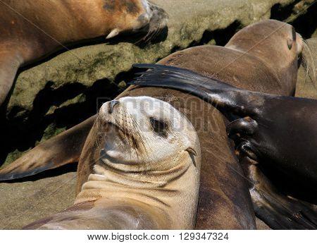 Young California sea lion with colony in La Jolla/San Diego, California.