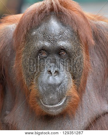 Orangutan Portrait. A Close Up Portrait Of The Orangutan. Close Up At A Short Distance. Bornean