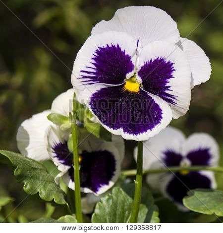 Beautiful view of pansies purple and green