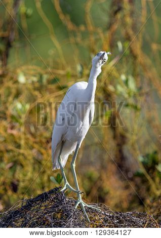 Adult Little Blue Heron (egretta Caerulea) ( White Morph )