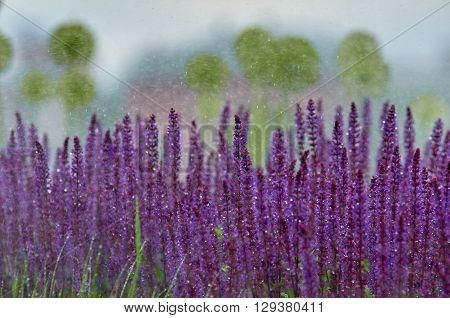 grass and lavender in water droplets. Summer in the city