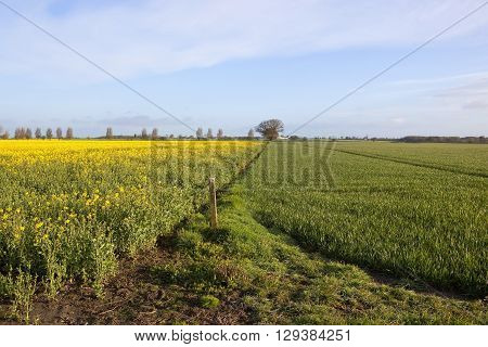 arable fields of wheat and oilseed rape with yellow flowers and poplar trees in the background under a blue sky in springtime