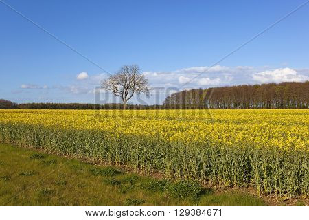 a woodland copse beside a flowering oilseed rape crop in the yorkshire wolds england under a blue sky in springtime