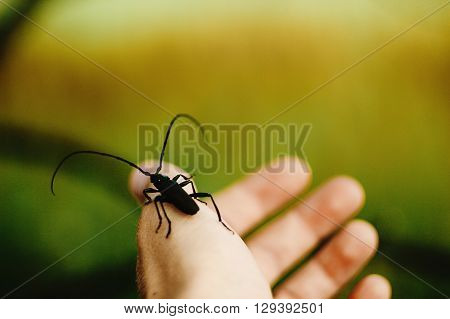 Beautiful Big Monochamus On Humans Hand Finger In Sunny Spring Meadow, Environment Protect
