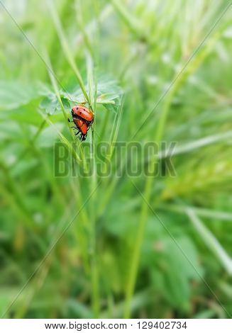 A couple of ladybugs mating in the grass.