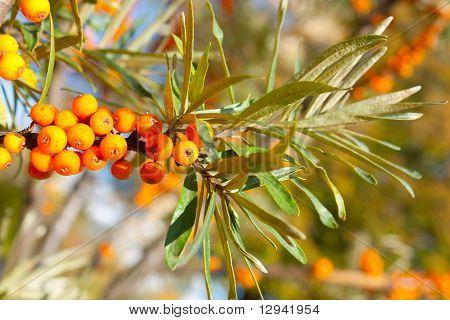 Sea-buckthorn Berries Branch