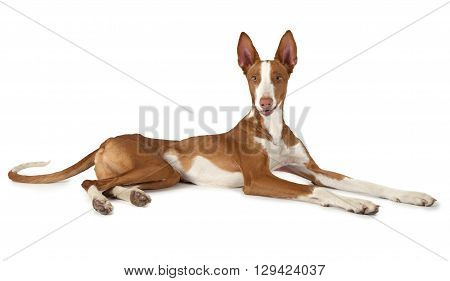 One year old Ibizan Hound (Podenco ibicenco) dog lying in front of white background and looking at the camera