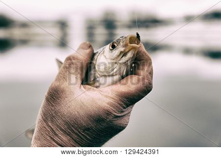Roach in fisherman's hand caught on bloodworm bait, toned image