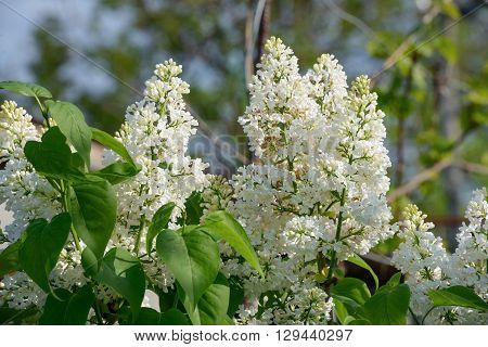 Close-up Of Flowering Lilac White Panicles And Bright Green Leaves.