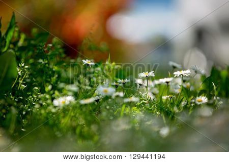 Beautiful Flied With Daisies Flowers, Shallow Depth Of Field