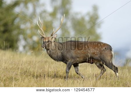 Red deer (Cervus elaphus) walking in high grass and in rut.