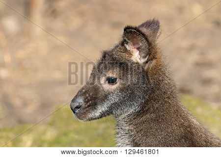 Close up of a Bennets Wallaby head