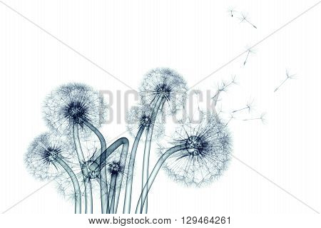 X-ray Image Of A Flower Isolated On White , The Taraxacum Dandelion