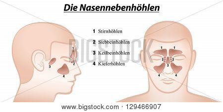 Paranasal sinuses - anterior and lateral view - GERMAN NAMES! Isolated vector illustration over white