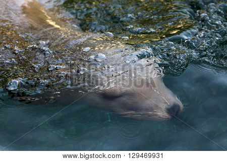A sea lion under the water surface