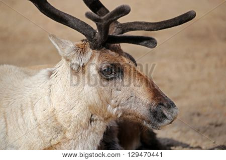 Close up of a rendeer with sand colored background