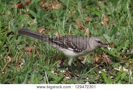 Gray Bird eating bread off the ground